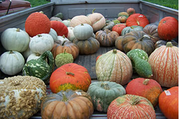 The fall ornamentals that we offer are grown right on our farm.